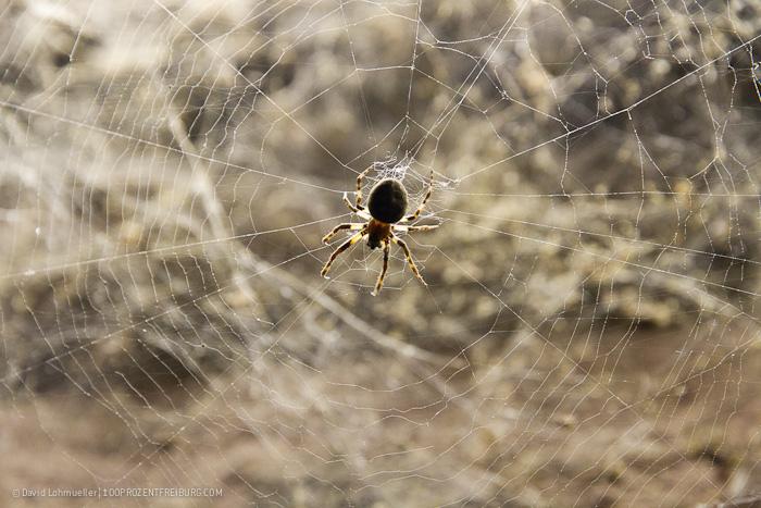 Halloween: Die Freiburger Spinnen!